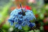 rhapsody of blue
